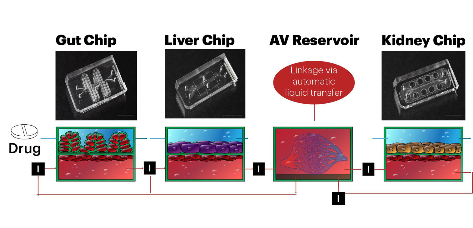 Next generation of organ-on-chip has arrived
